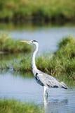 Grey heron bird in Pottuvil, Sri Lanka Stock Photo