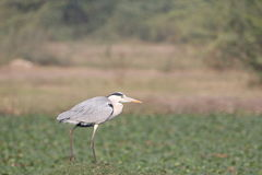 Grey heron bird Stock Images
