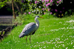 Grey heron bird standing on the grass. Land Royalty Free Stock Photo