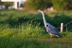 Grey heron bird standing in grassland Royalty Free Stock Photography