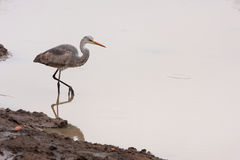 Grey heron bird water Royalty Free Stock Images