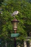 Grey Heron, Blauwe Reiger, Ardea cinerea imagen de archivo