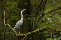 Grey heron Stock Photos