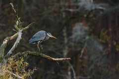 Grey heron on the bough. Grey heron on a bough on a forest background Royalty Free Stock Image