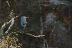 Grey heron on the bough Stock Images