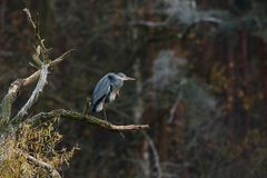 Grey heron on the bough Stock Photography