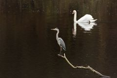 Grey heron on the bough. Mute swan in the background Royalty Free Stock Photos