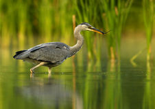 Grey Heron with branch. Young heron standing in water Stock Images