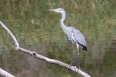Grey heron on a branch by the water`s edge royalty free stock images