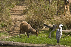 Grey heron and bushbuck , Kruger national park, SOUTH AFRICA Royalty Free Stock Photography