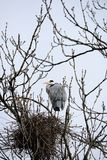 Grey Heron By Nest In Bare Tree Stock Photo