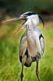 Grey Heron calling Royalty Free Stock Photo