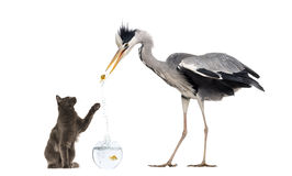 Grey Heron and a cat playing with a goldfish Royalty Free Stock Photography