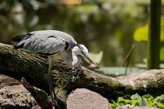 Grey heron with a catch Stock Image