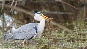 Grey heron catches a frog - Ardea cinerea Royalty Free Stock Image