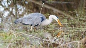 Grey heron catches a frog - Ardea cinerea Stock Photography