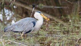 Grey heron catches a frog - Ardea cinerea Stock Photos