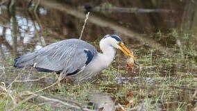 Grey heron catches a frog - Ardea cinerea Royalty Free Stock Photography