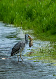 Grey heron catching and eating a duckling Royalty Free Stock Photography