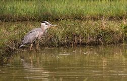 Grey Heron catching a fish Stock Image