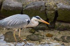 Grey Heron Catching Fish Stock Photography