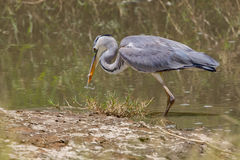 Grey Heron Catching Fish. A Grey Heron, catching a small fish from the shallows of a stream running through Olare Orok Conservancy, bordering Masai Mara, Kenya Royalty Free Stock Photos