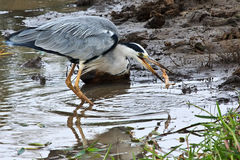 Grey Heron catching a frog. The Grey Herons plumage is largely grey above, and off-white below. Adults have a white head with a broad black supercilium and Royalty Free Stock Images