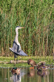 Grey Heron catching the morning sun. Grey Heron standing with wings fanned to catch the morning sun while mallard ducks in the foreground preen Royalty Free Stock Photography