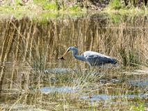 Grey Heron caught a frog Royalty Free Stock Images