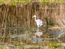Grey Heron caught a frog Stock Images