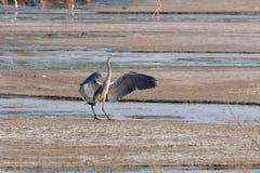 Grey Heron che apre le sue ali fotografia stock libera da diritti