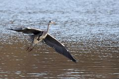 Grey Heron che entra atterrare Immagini Stock Libere da Diritti