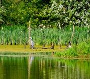 Grey Heron che riposa sul ramo Fotografia Stock Libera da Diritti