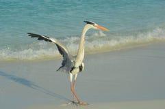 Grey Heron che sta sulla spiaggia Fotografia Stock Libera da Diritti
