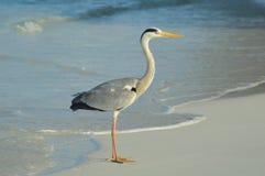 Grey Heron che sta sulla spiaggia Fotografia Stock
