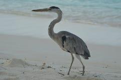 Grey Heron che sta sulla spiaggia Immagine Stock Libera da Diritti