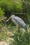 Grey Heron (cinerea Ardea) äter en fisk Arkivbild
