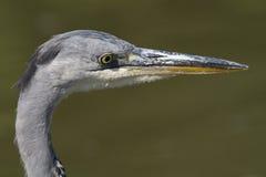 Grey Heron (cinerea Ardea) Royaltyfria Bilder