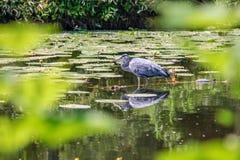 Grey Heron (cinerea Ardea) Arkivbild