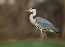Grey Heron (cinerea Ardea) Royaltyfri Bild