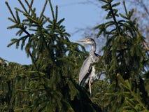 Grey Heron (cinerea Ardea) Stock Afbeeldingen
