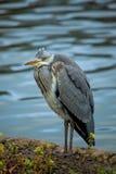 Grey Heron (cinerea Ardea) Royalty-vrije Stock Afbeeldingen