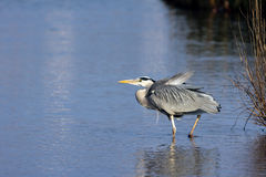 Grey Heron (cinerea Ardea) royalty-vrije stock foto's