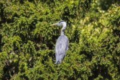 Grey Heron (cinerea Ardea) - nationella botaniska trädgårdar, Dublin Royaltyfria Foton
