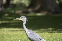 Grey Heron (cinerea Ardea) - nationella botaniska trädgårdar, Dublin Arkivfoton