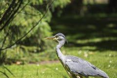 Grey Heron (cinerea Ardea) - nationella botaniska trädgårdar, Dublin Royaltyfri Foto