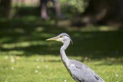 Grey Heron (cinerea Ardea) - nationella botaniska trädgårdar, Dublin Arkivbilder
