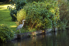 Grey Heron (cinerea Ardea) på sjön Royaltyfri Bild