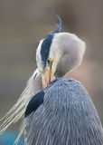 Grey Heron Cleaning Wings Cinerea Ardea royalty-vrije stock foto