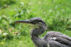 Grey heron close-up (Ardea cinerea) Stock Photography